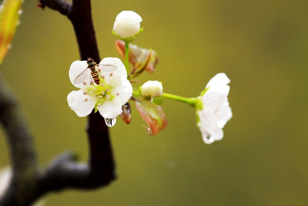 马适作品:梨花带雨