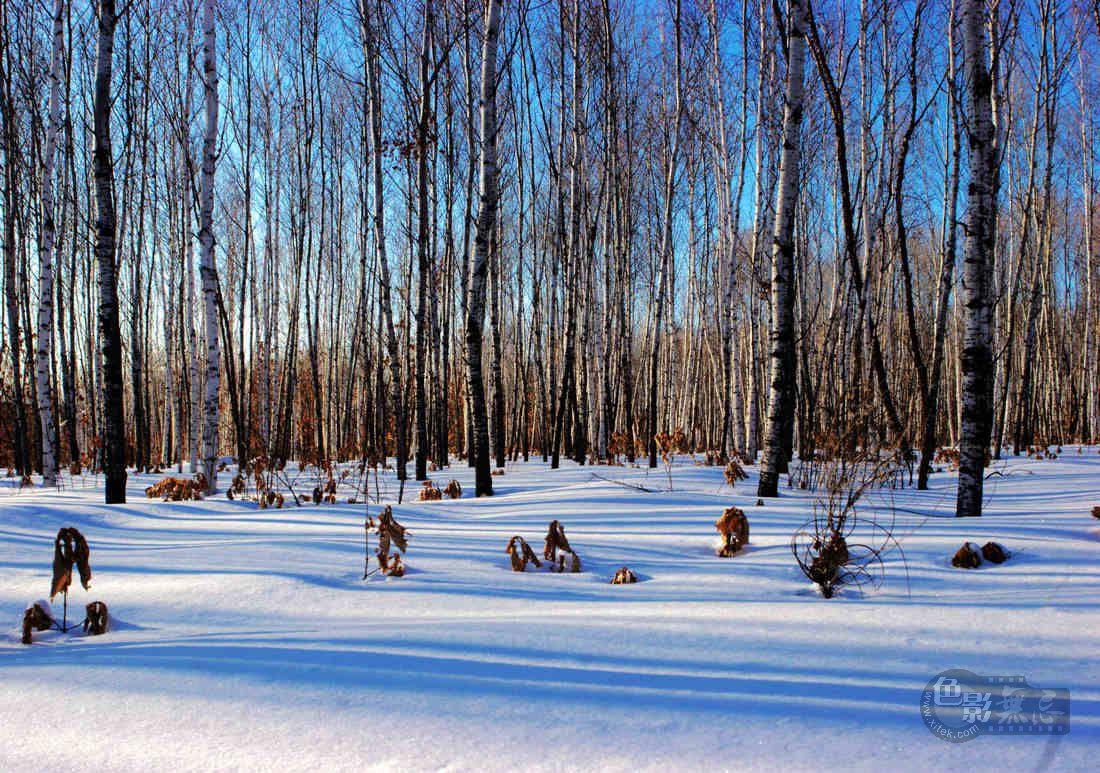 大岭鲜卑作品:寂静的桦林