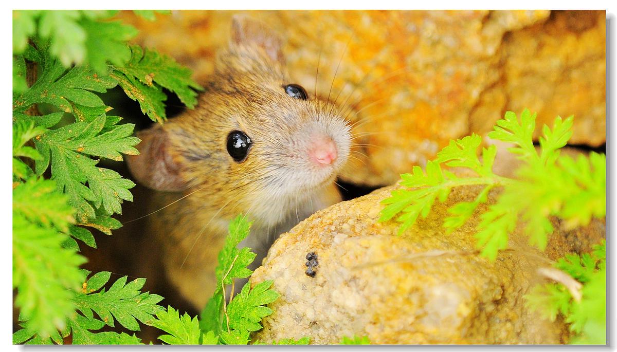 爱吃黄瓜作品:初生鼠犊