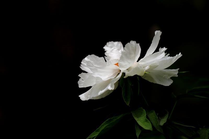 小程的故事作品:白牡丹