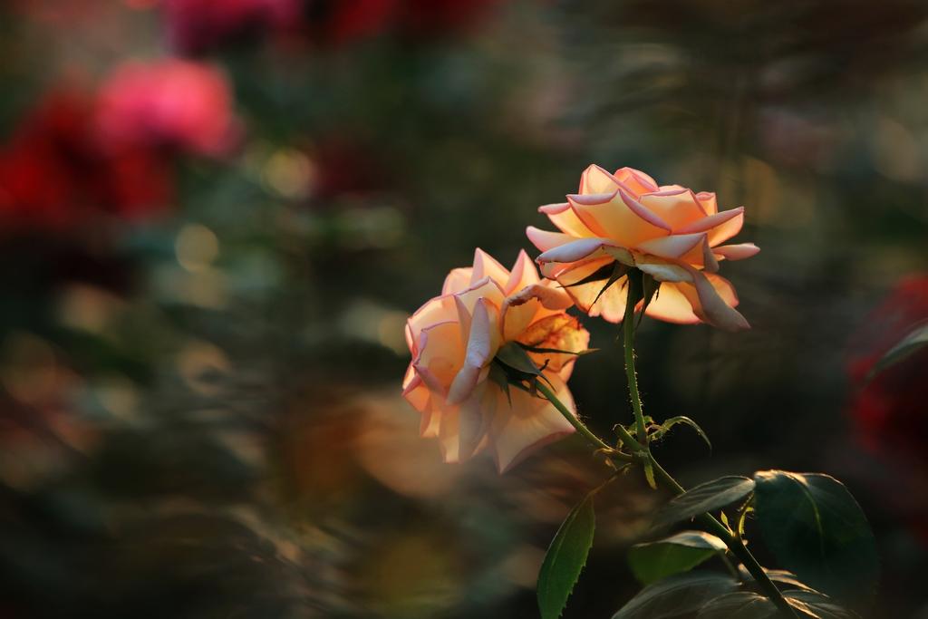 受益作品:花世界 - 月季花