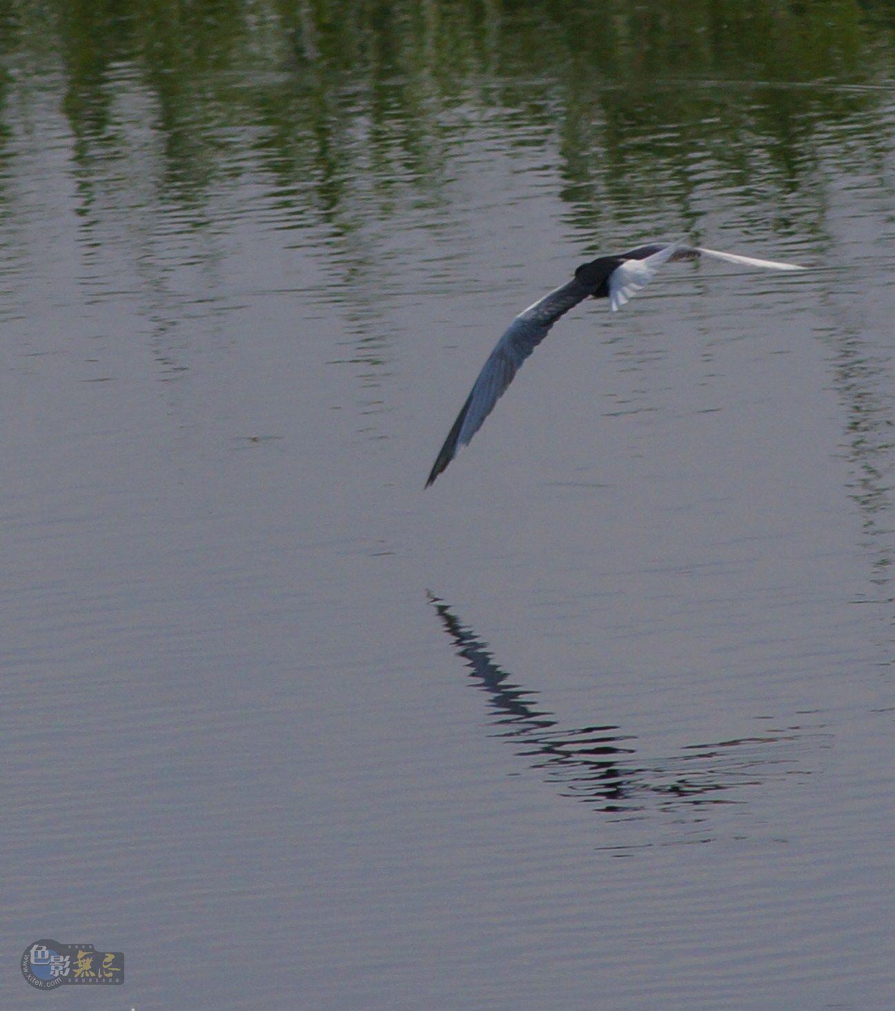 kevin060作品:湿地中的鸥鸟