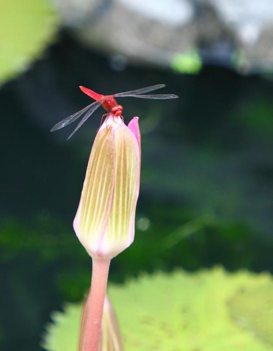 顺顺0414作品:蜻蜓抱蕾
