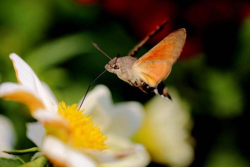 小程的故事作品:长喙天蛾