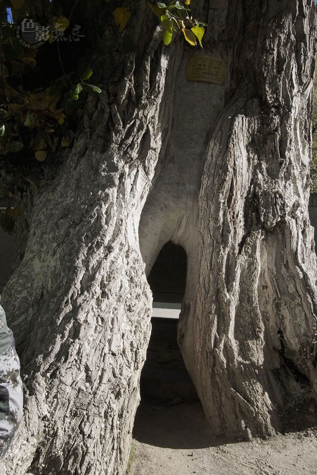 通铺异梦作品:老树