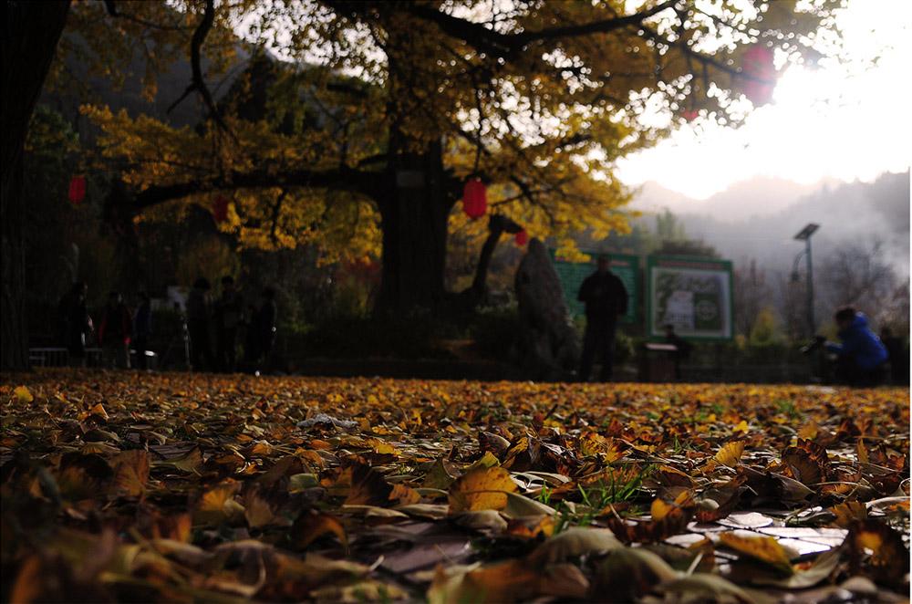 秋天银杏叶子黄了,落在地上,给大地铺上一屋金色的地毯,煞是好看
