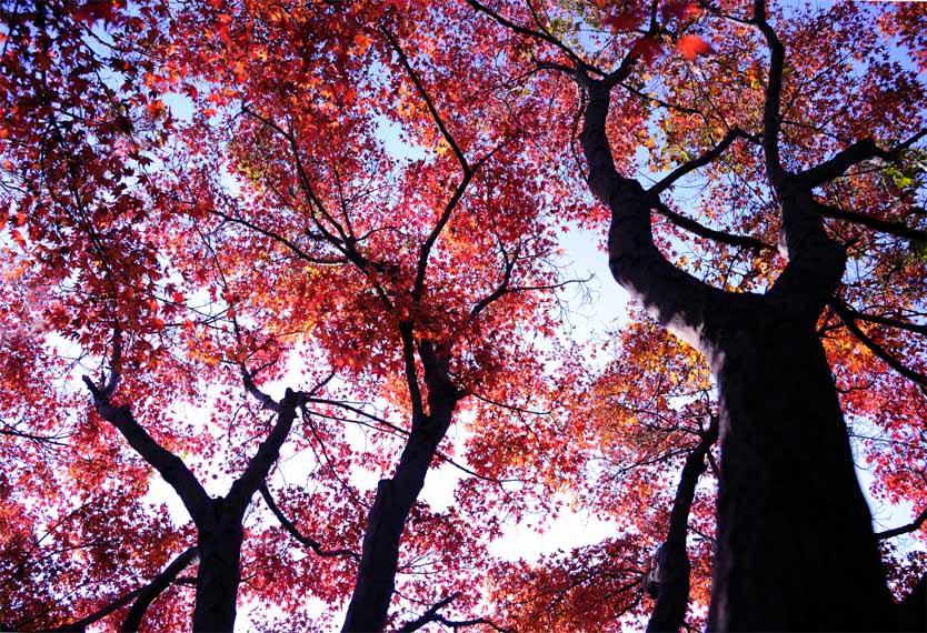 20摄影作品 红枫树