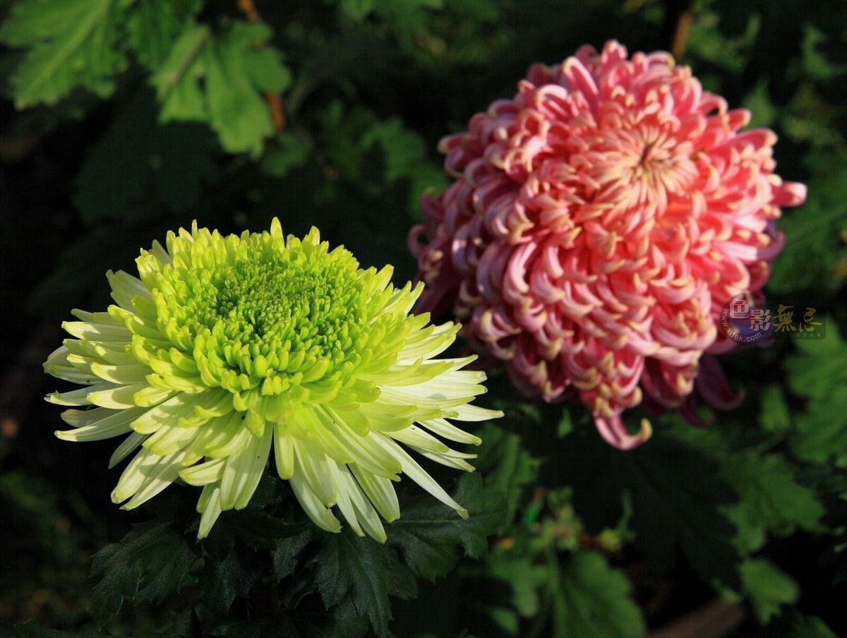 平野大荒作品:绿球菊花