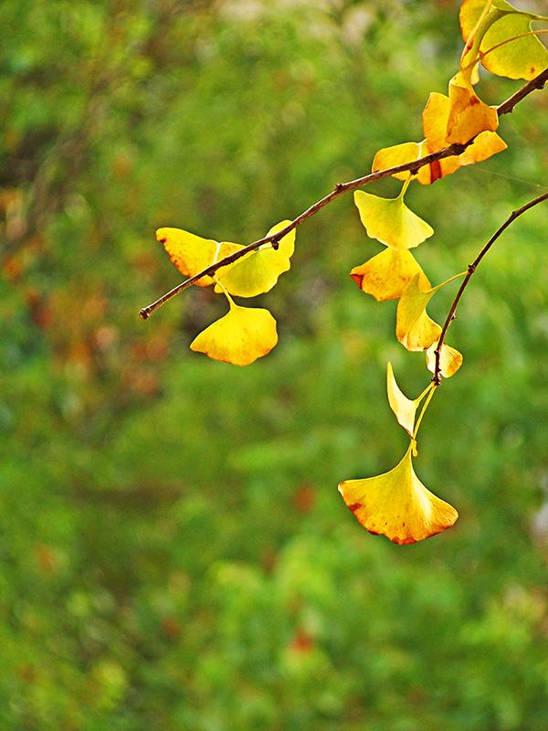 人在草木间摄影作品 知秋银杏