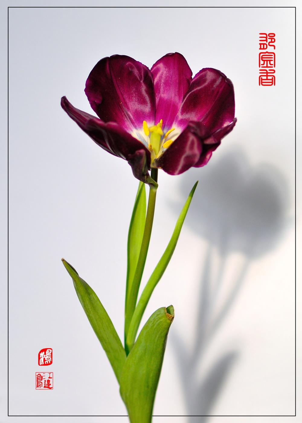 江边鸟作品:郁金香1