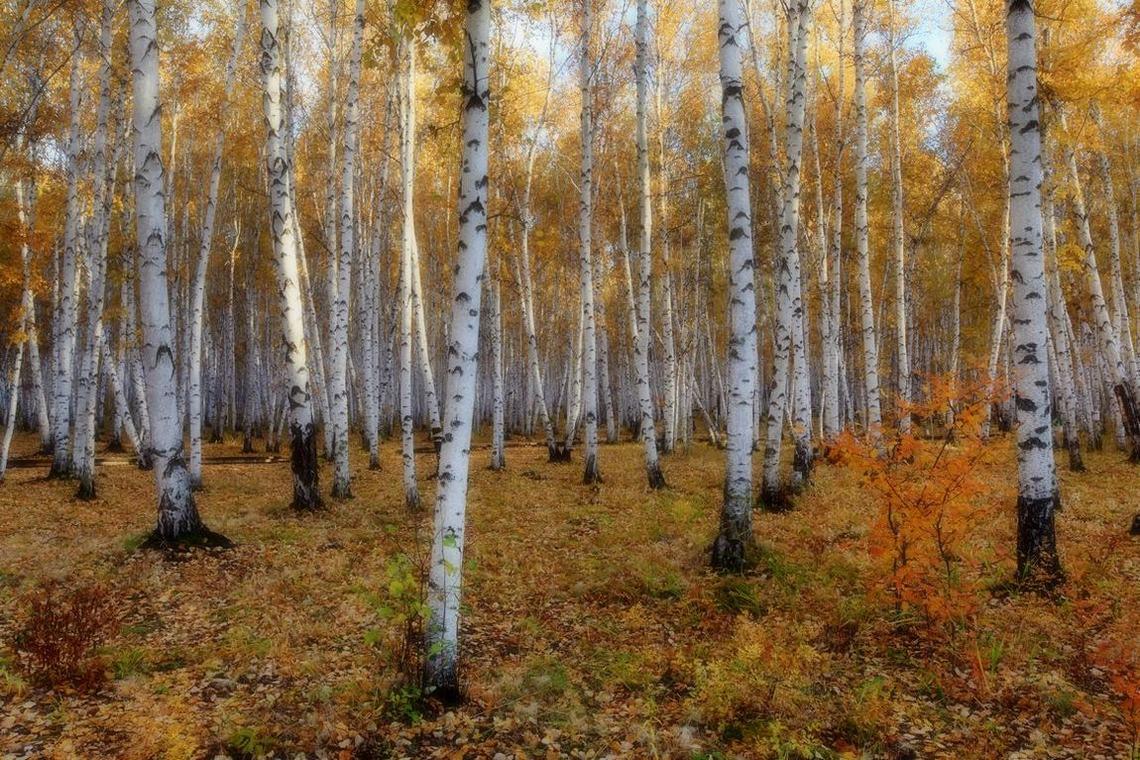 骑兵一员作品:《静静的白桦林》