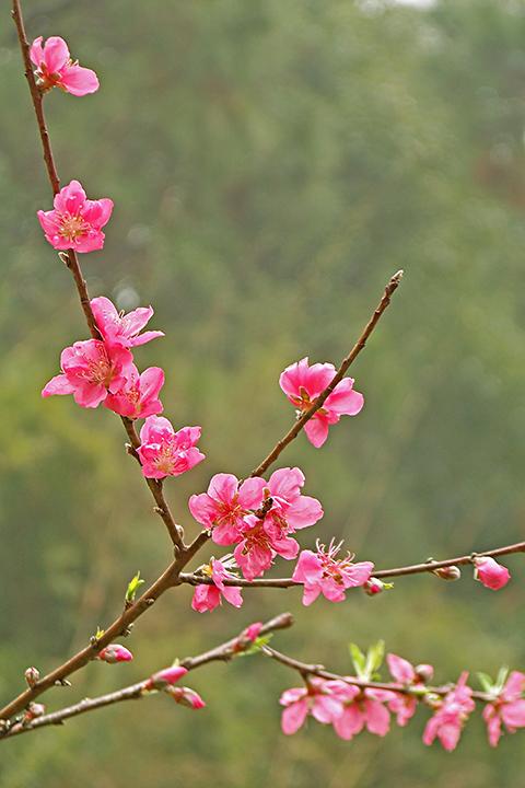 人在草木间摄影作品 桃花迎春笑