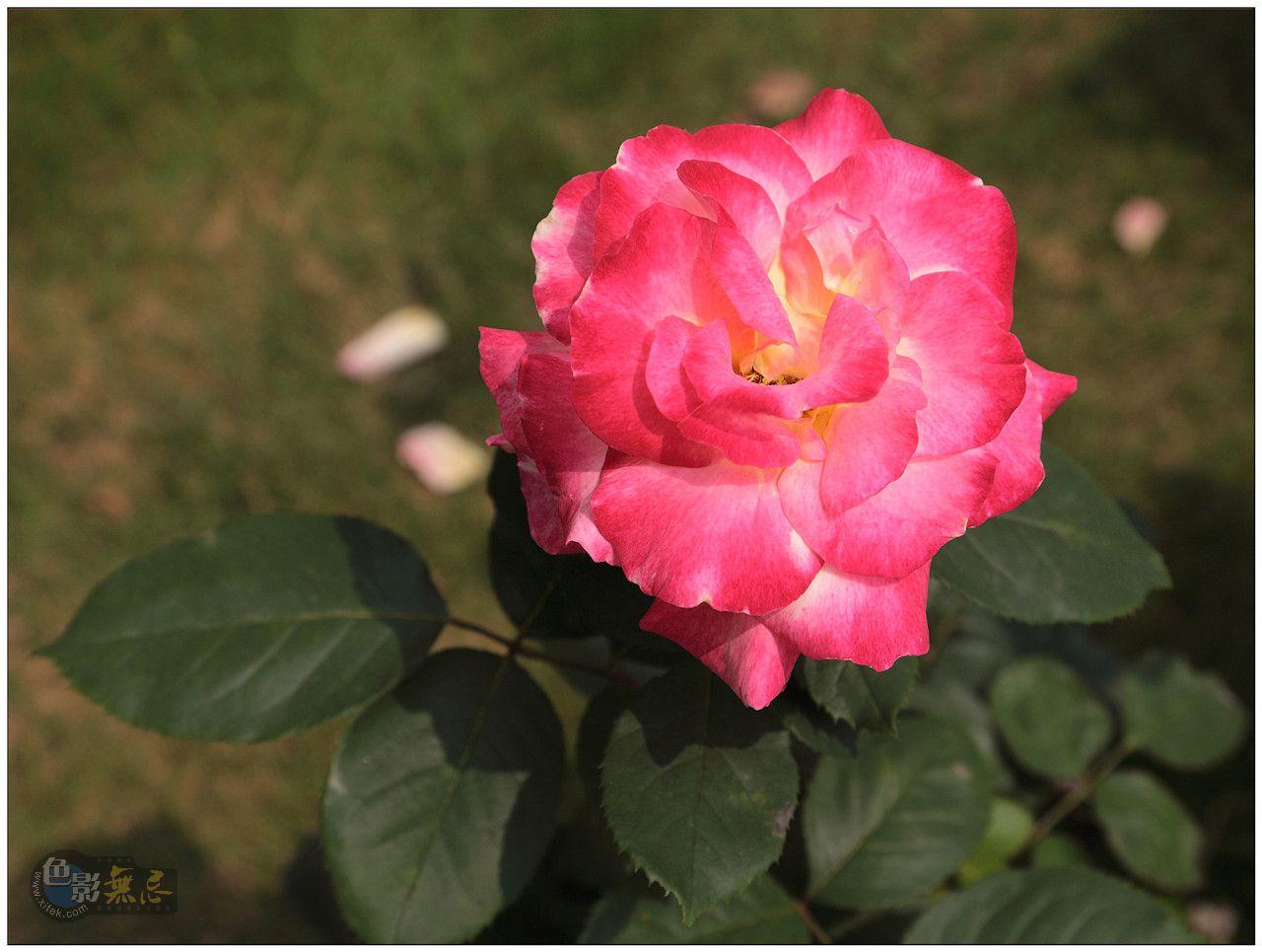 冰尘作品:玫瑰