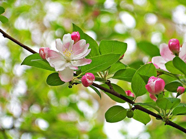 人在草木间摄影作品 娇俏可人海棠花