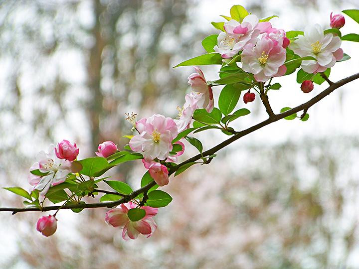 人在草木间摄影作品 娇艳最是春海棠