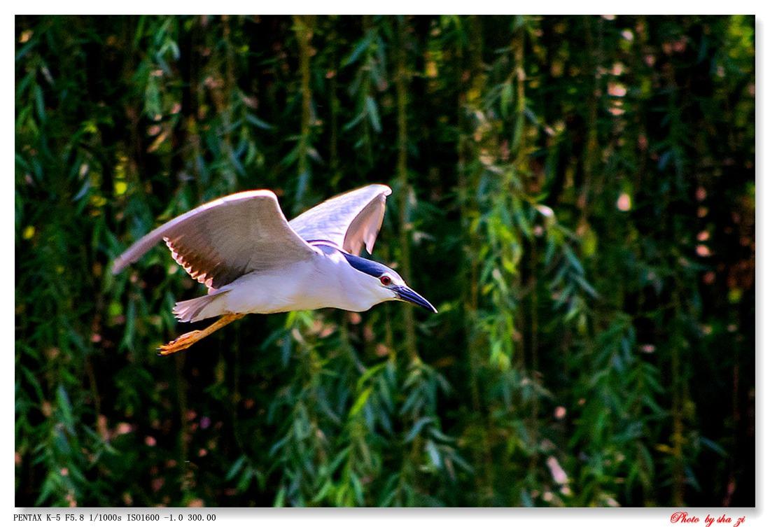 沙子2012作品:初夏的夜鹭