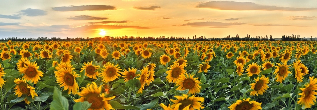 zxz0877作品:晚霞中的向日葵