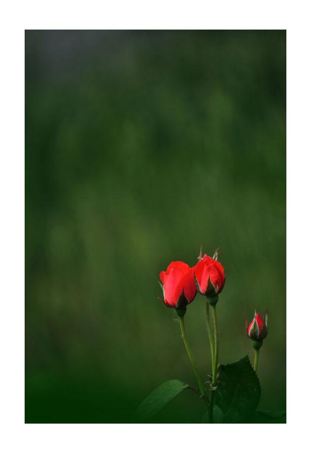 hfgl作品:红月季