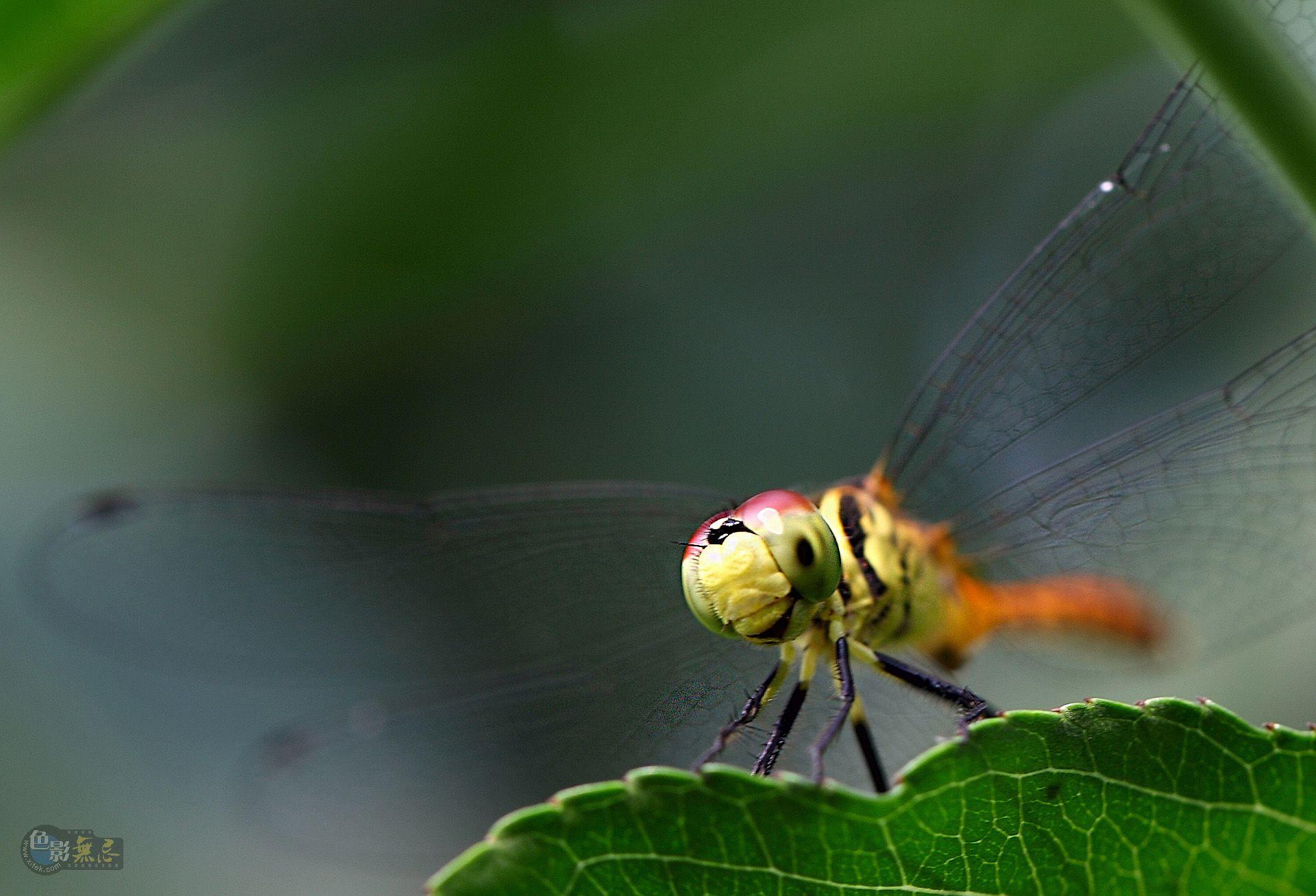 zhaoal作品:蜻蜓