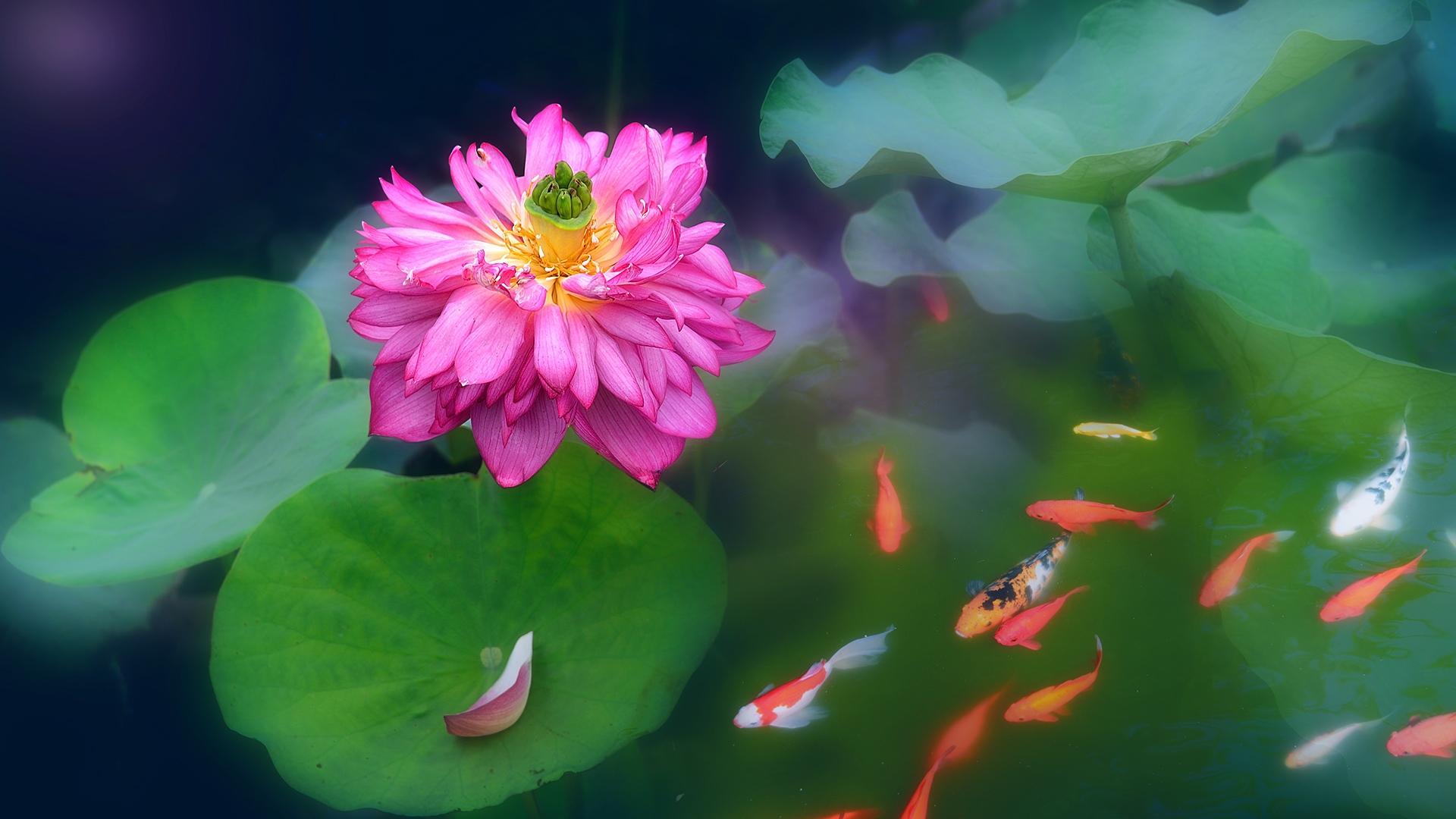 江边鸟作品:鱼戏莲花