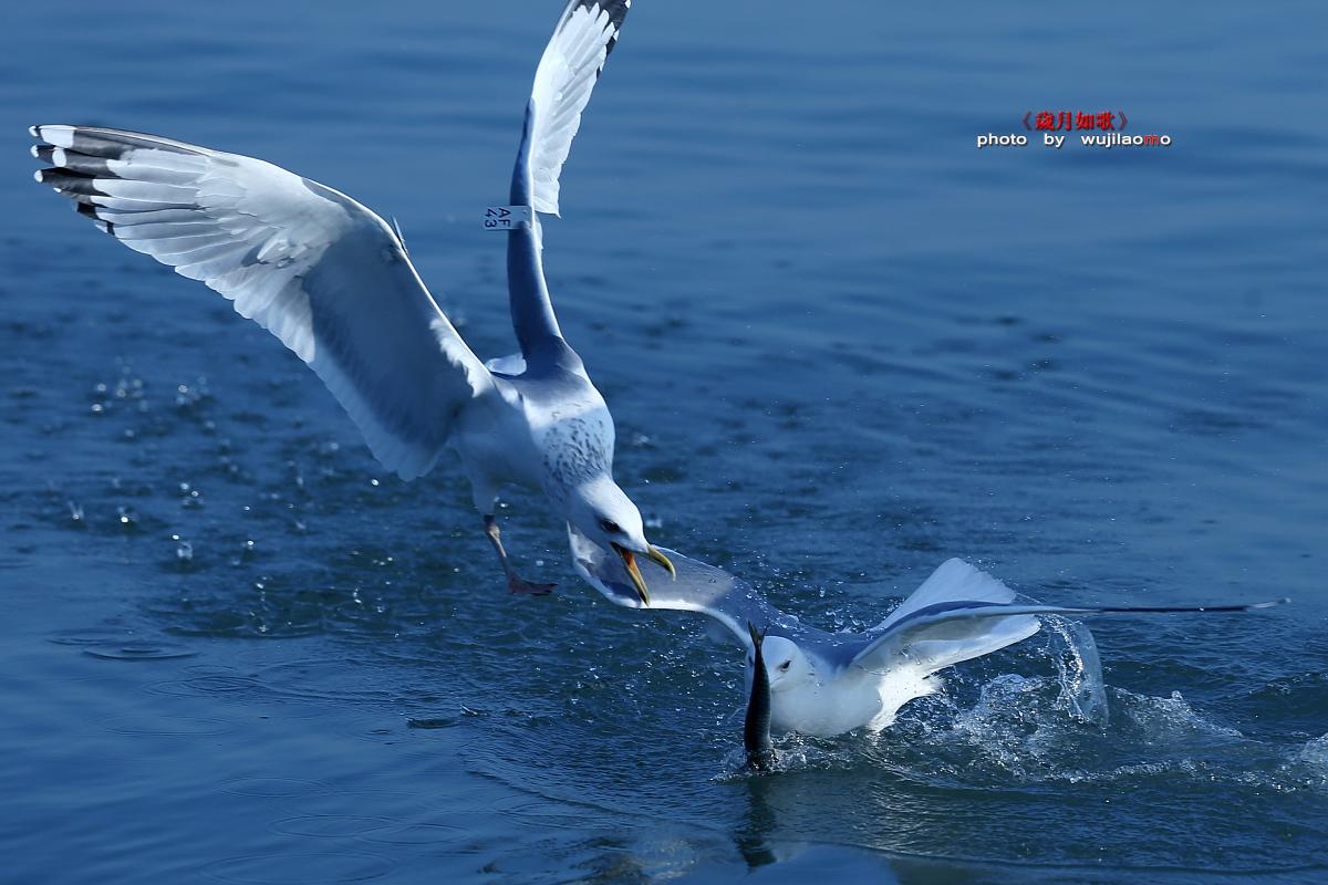 墨林作品:海鸥一组