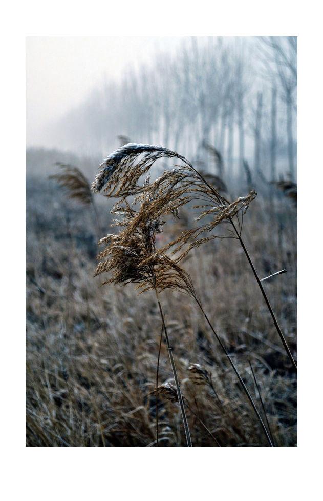 hfgl作品:芦苇,冬