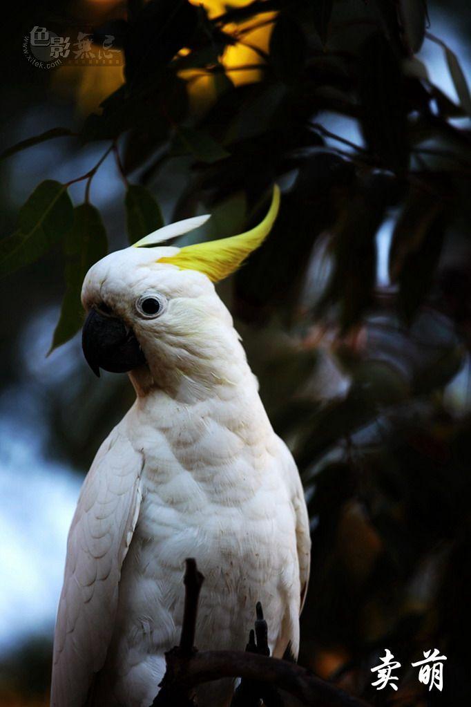 佳兔无敌作品:黄冠凤头鹦鹉一组