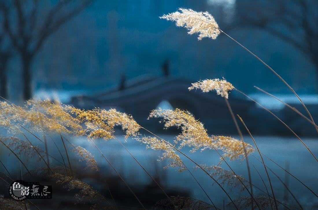 空空雨人作品:冬日芦苇