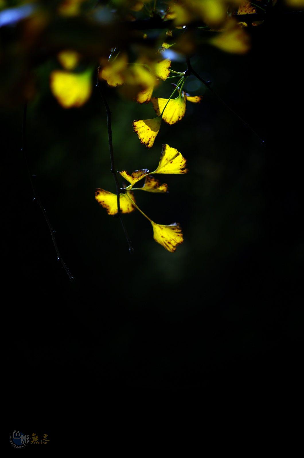 秋天的树2摄影作品 银杏叶子 -银杏叶子