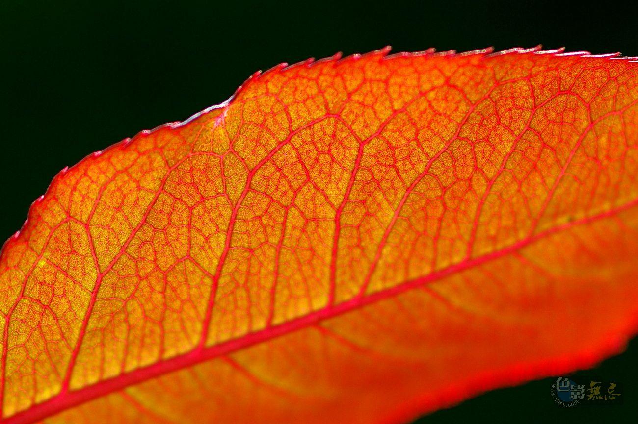 秋叶 秋天的叶子,绚烂得像春花 然而比春花多了一份厚重,少了一份