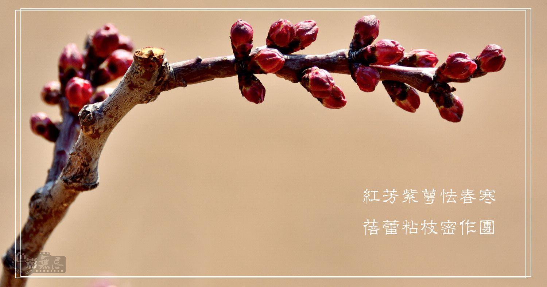 田园老翁作品:桃花?杏花?
