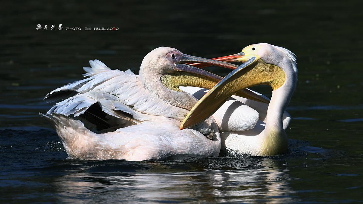 墨林作品:塘鹅在行动