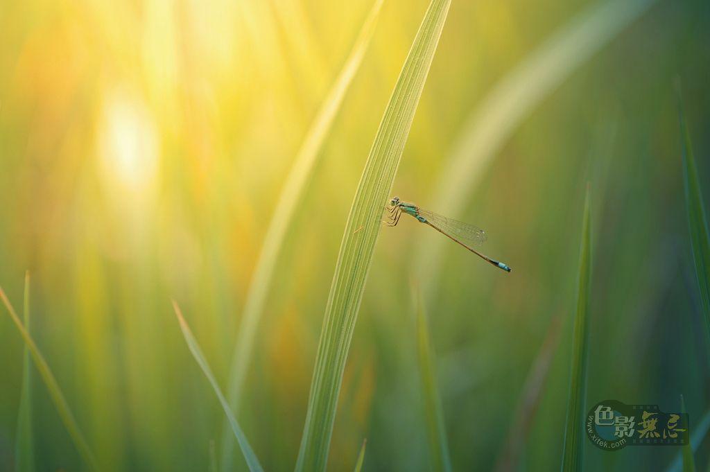 广州三宝作品:蜻蜓