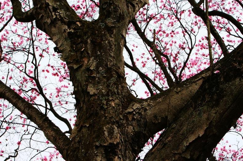 观雾山人作品:老树新花