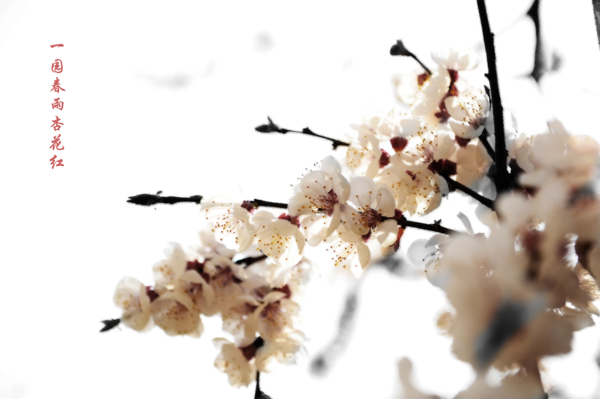 春光明媚作品:一园春雨杏花红