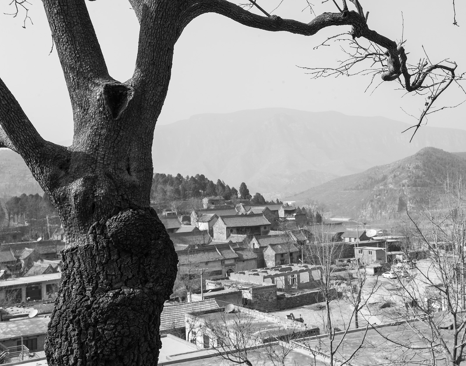 濮阳老张作品:古村枣树