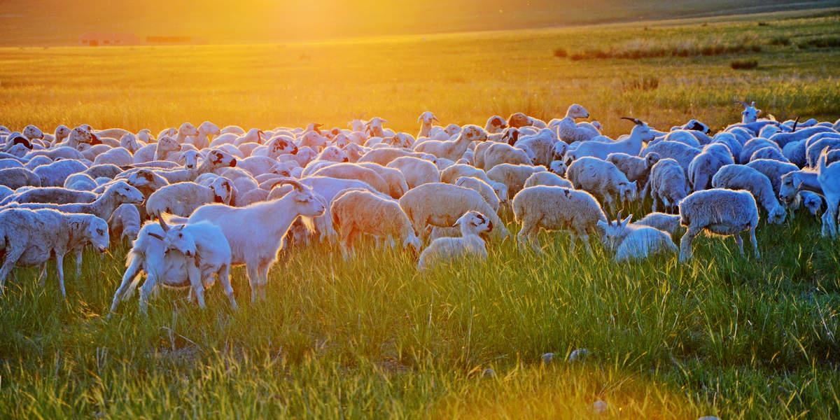 啸陆作品:美羊羊