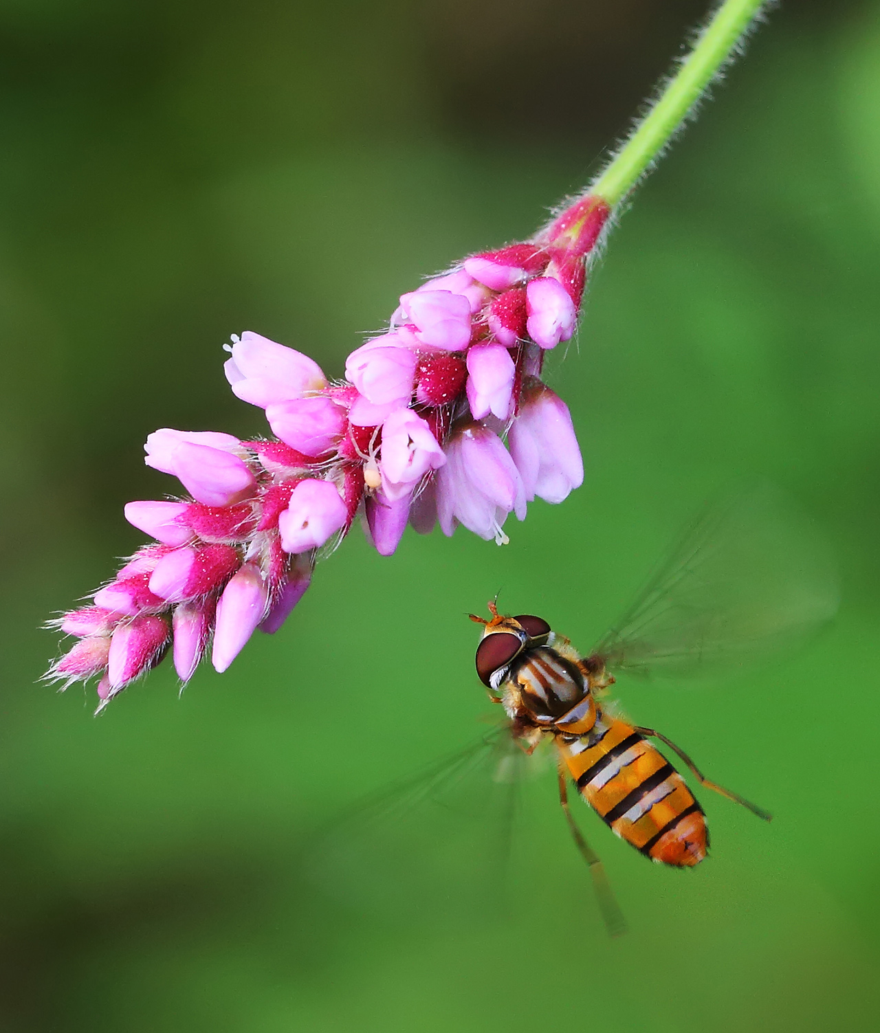 wangsadslr作品:飞舞的食蚜蝇(2)