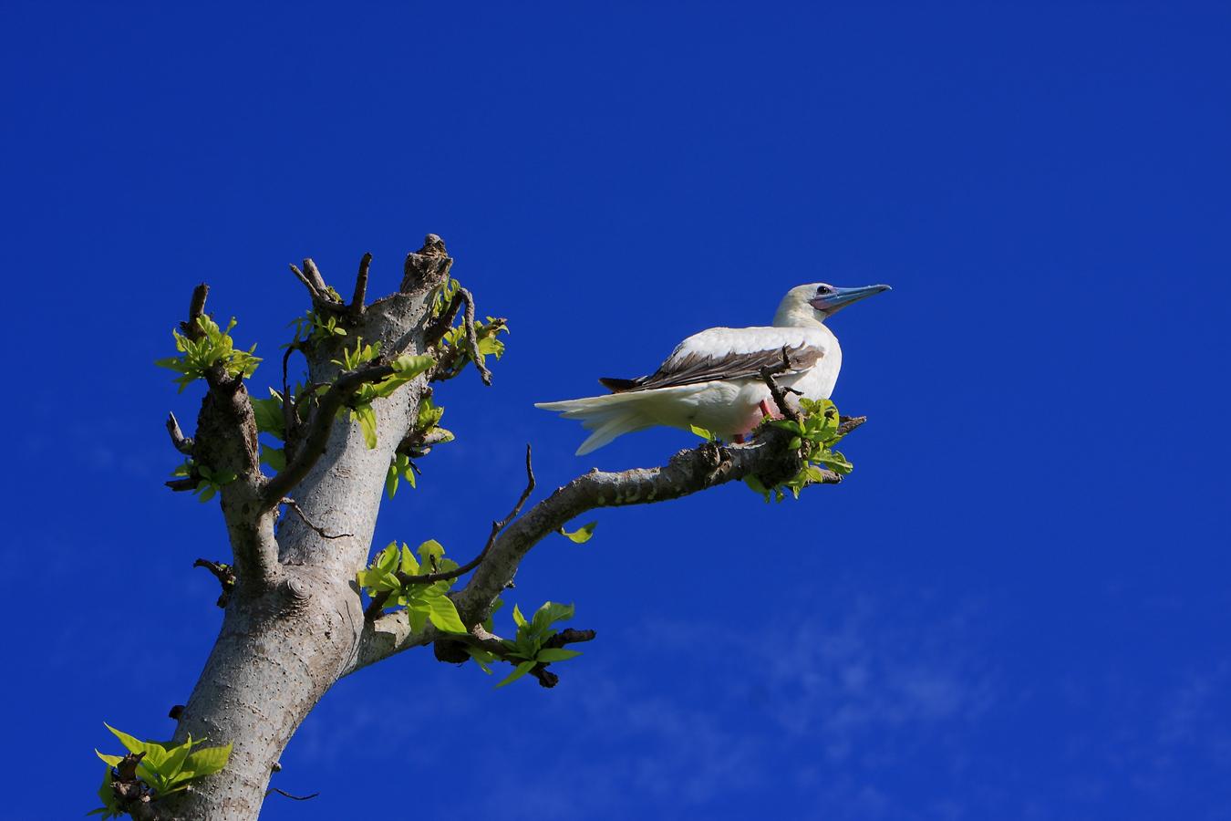 南极翁作品:抗风桐树上的鲣鸟
