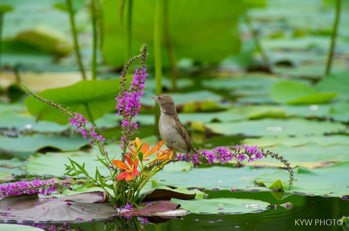 M8作品:夏日池塘的花鸟