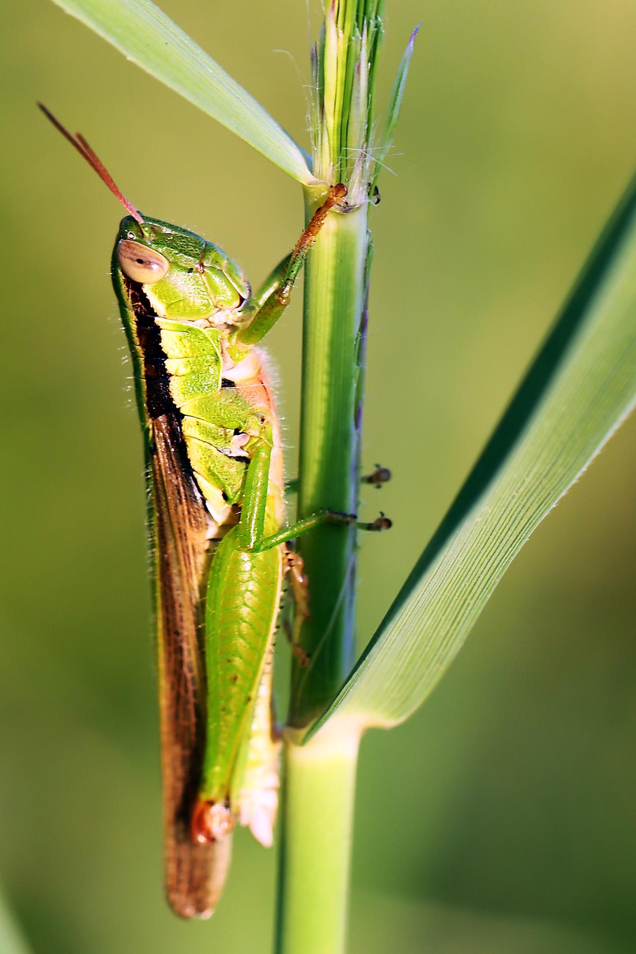 wangsadslr作品:蝗虫