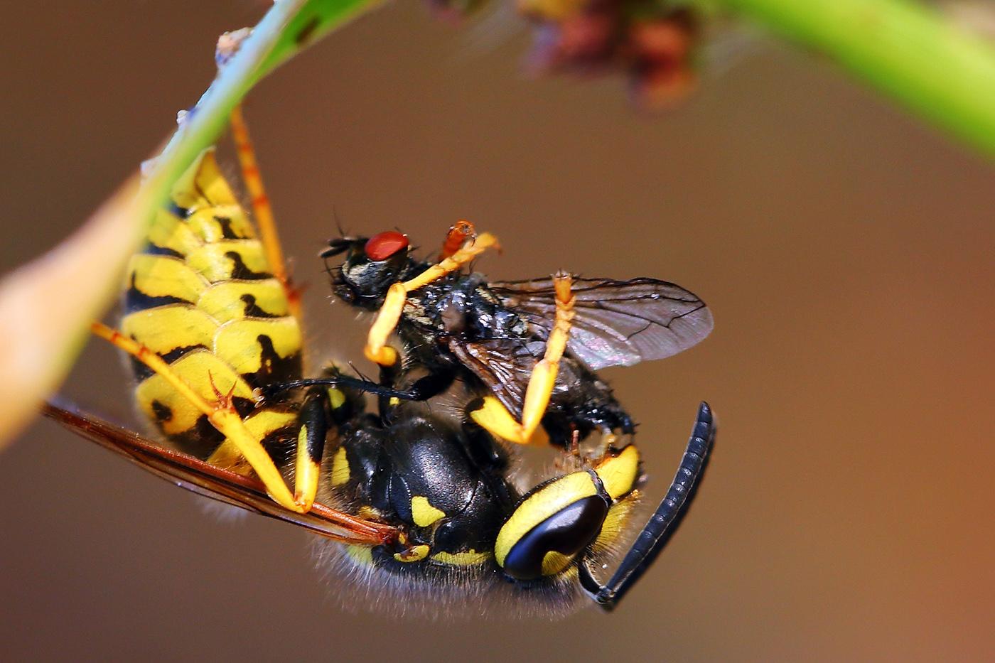 wangsadslr作品:黄蜂猎杀