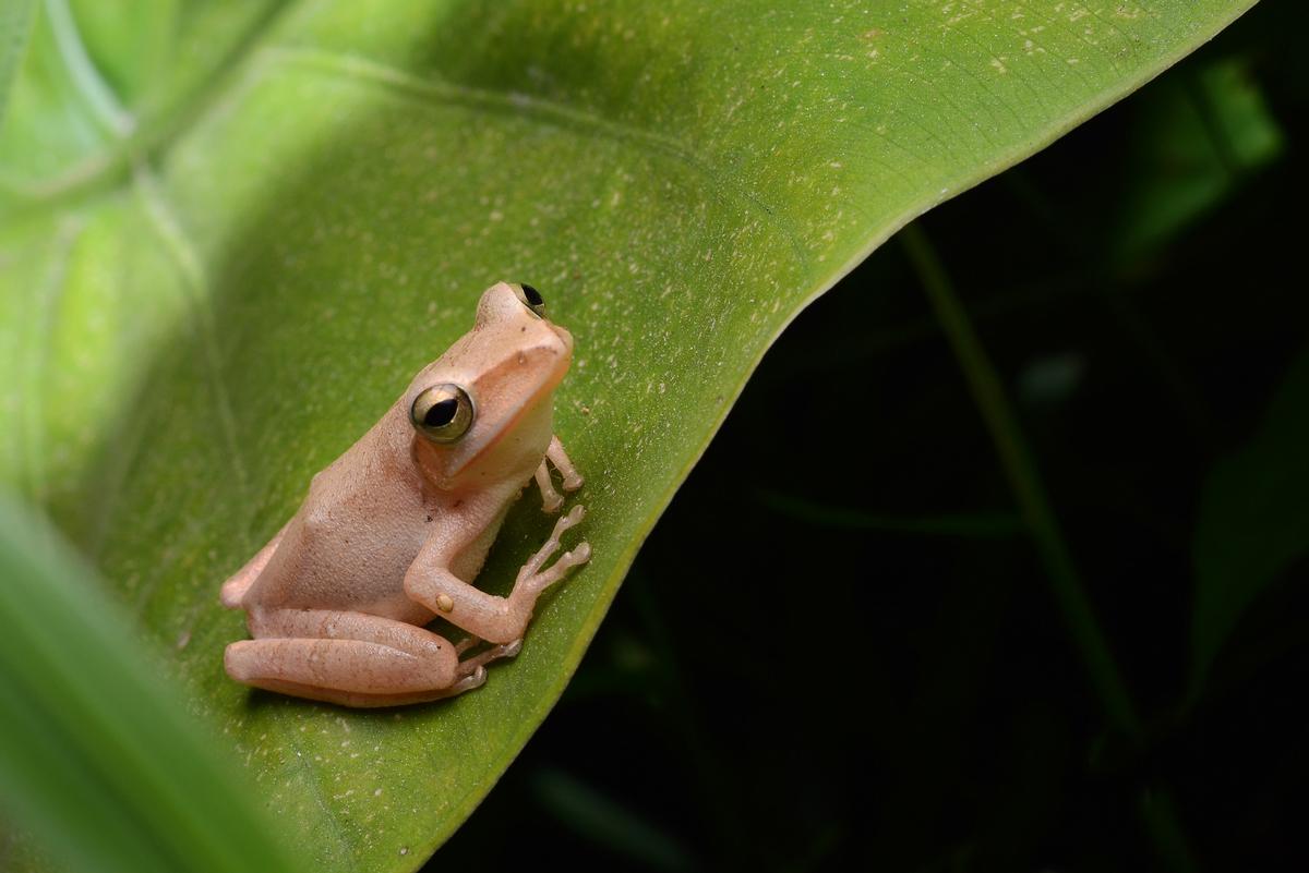 摄于晚上 小树蛙在叶子上一动不动高清图片