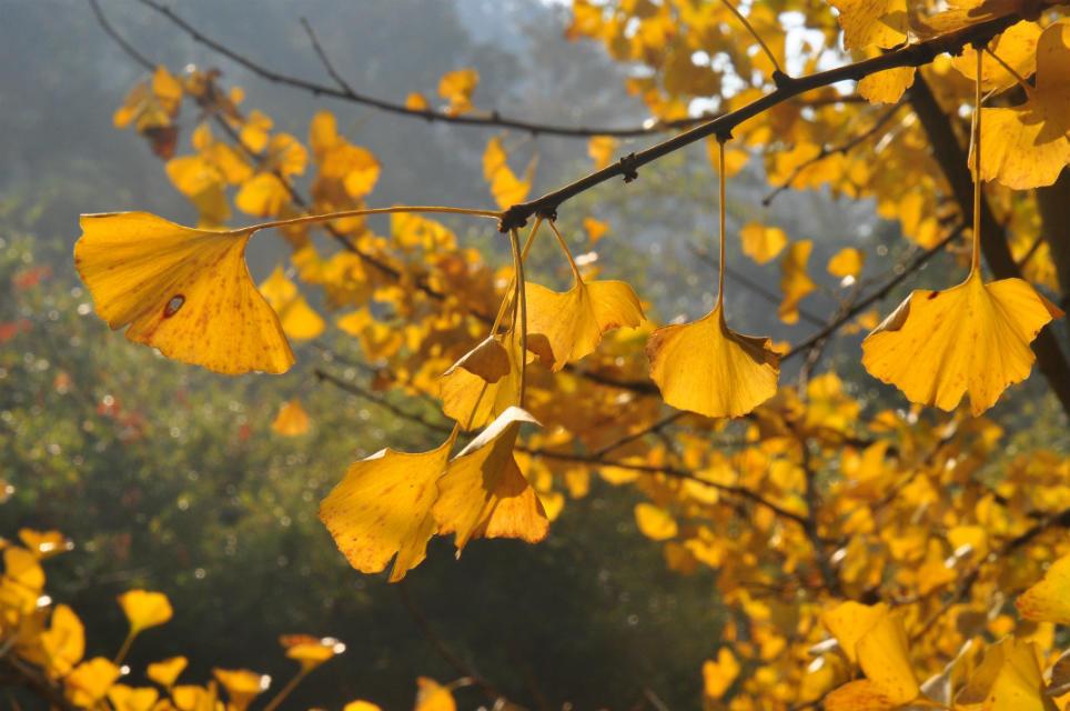 摄影作品 南雄银杏 黄色印象 -正是银杏叶黄时,随拍几张,入门菜