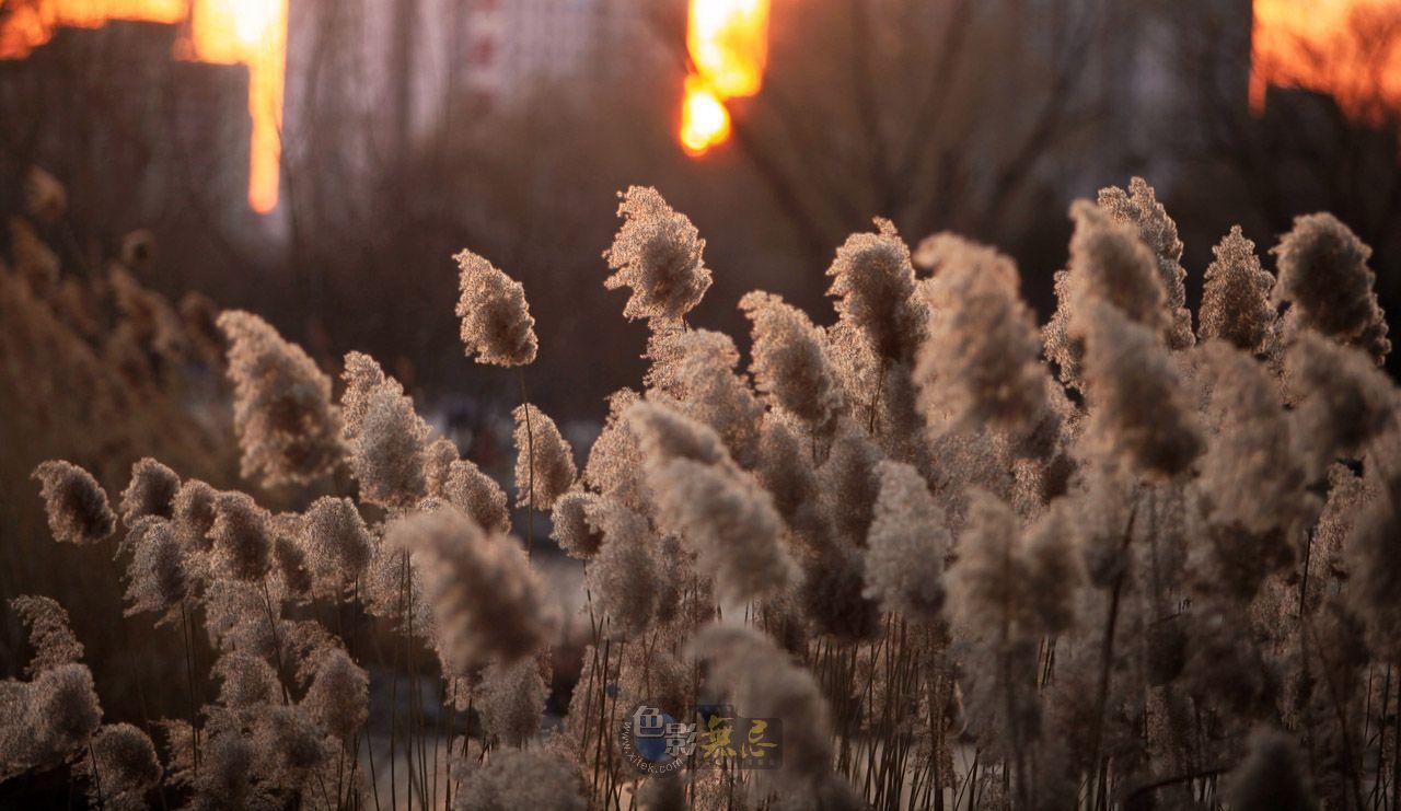 sunsaw作品:夕照芦苇