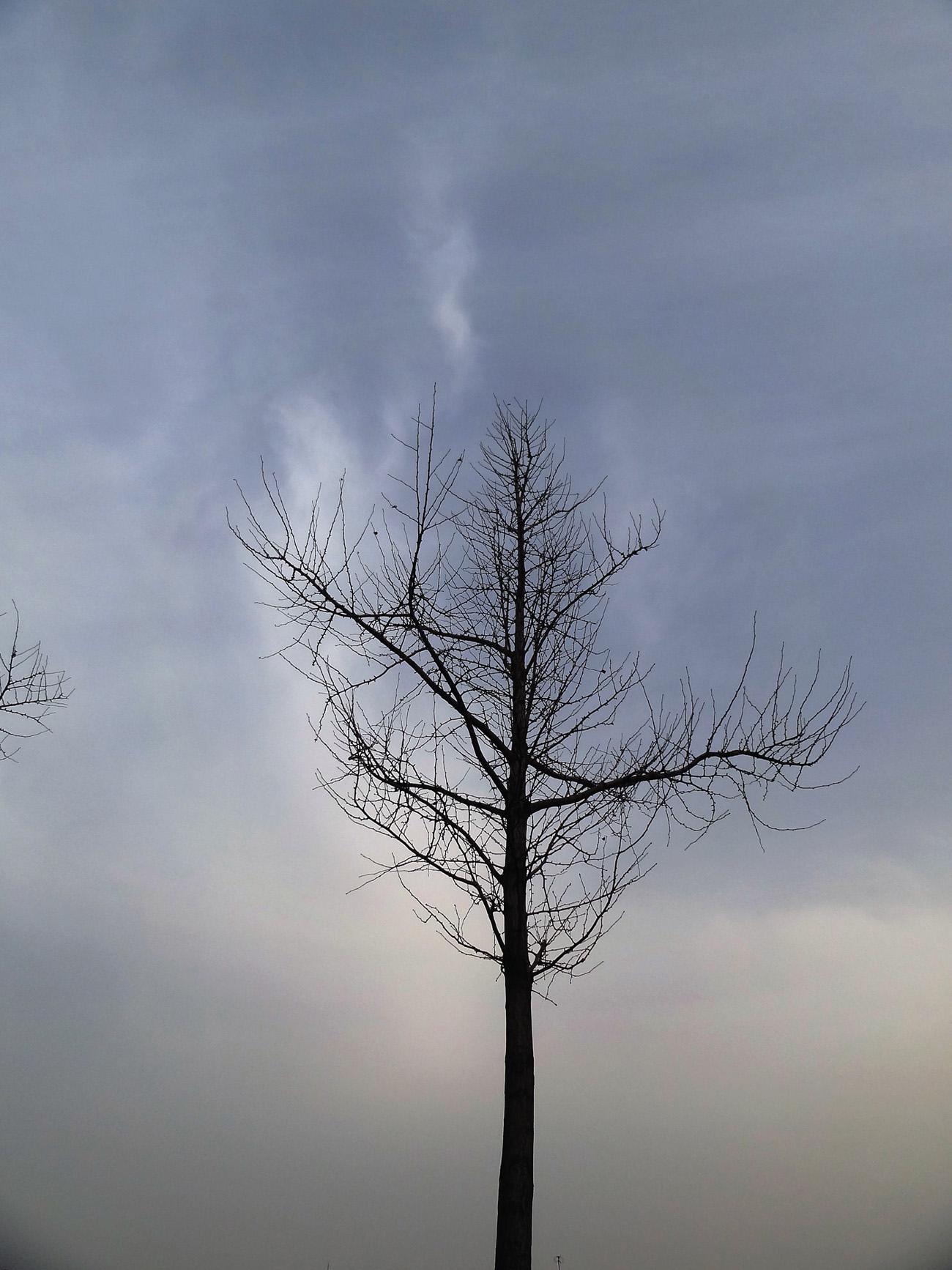 一棵落光叶子的银杏树