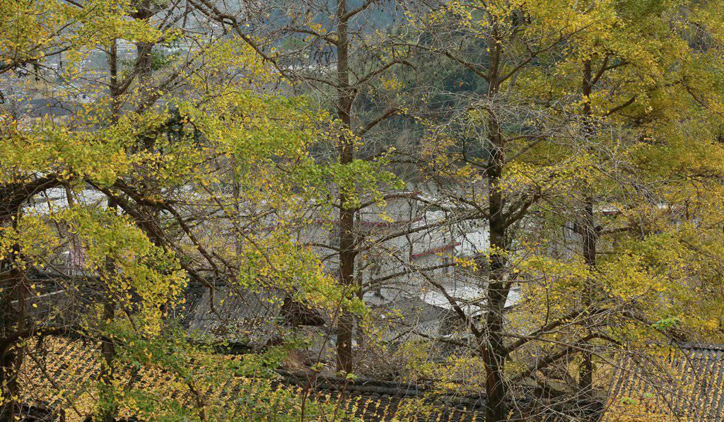 雾之松作品:银杏黄了_兴安漠川