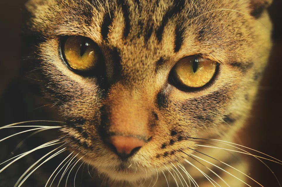 山地雪绒花作品:猫