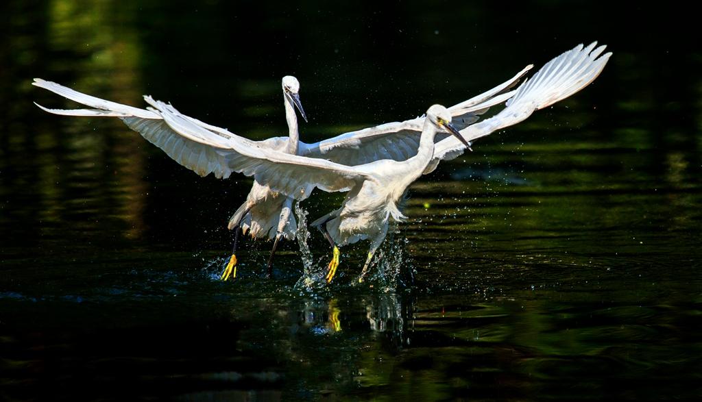 漆洁冰作品:白鹭亮翅