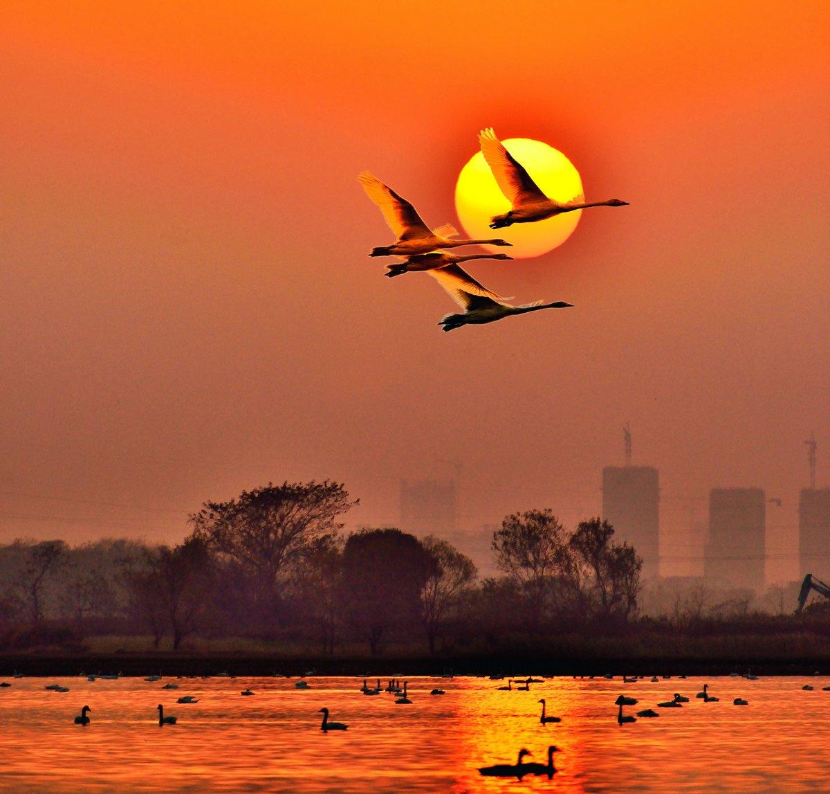 山海原野作品:天鹅与朝阳